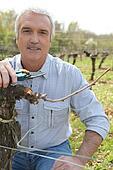 Man harvesting grape vines