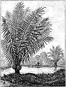 Ivory tree (Phytelephas macrocarpa), vintage engraving.