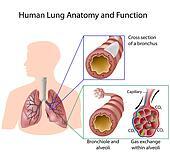 Human lung anatomy & function, eps8