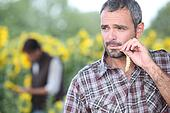 Man chewing piece of straw in a field of sunflowers