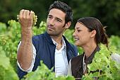 Farmer and wife inspecting grapes