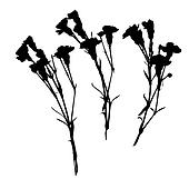 carnation silhouettes