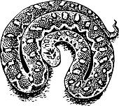 Echis (venomous viper)