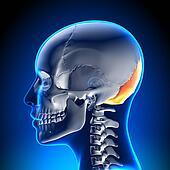Female Skull / Cranium - Occipital Bone