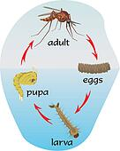 mosquito - life cycle