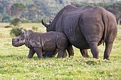 Cute Baby White Rhino and Mom
