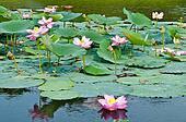 Sacred lotus flower living fossil