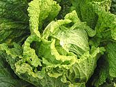 Chinese cabbage featured in a plantation