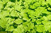 The Chinese cabbage background texture