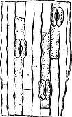 Stomata or Stoma, vintage engraving.