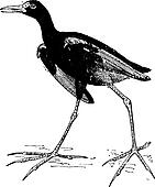 Jacana or Jesus birds, vintage engraving.
