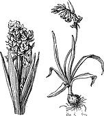 Hyacinth, Bluebell, vintage engraving.