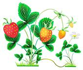 strawberry bushes with berries and flower