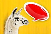 Funny face white alpaca with speech bubble