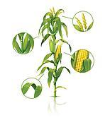 Corn stalk.