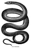 Snake Engraving Isolated on White