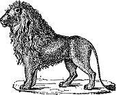 Lion or Panthera leo, vintage engraving