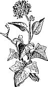 Ivy or Hedera sp., vintage engraving