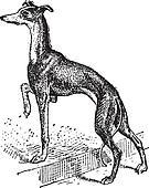Greyhound, vintage engraving