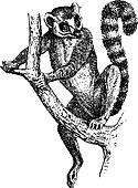Ring-tailed Lemur or Lemur catta, vintage engraving