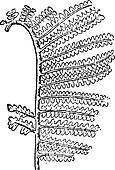 Gleichenia zippei, vintage engraving