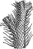 Lepidodendron, vintage engraving