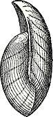 Uncites gryphus, vintage engraving