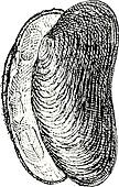 River Mussel or Unio sp., vintage engraving