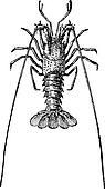 Crayfish or crawdads, vintage engraving.