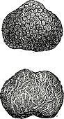 Truffles, vintage engraving