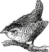 Troglodyte bird, vintage engraving.
