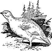 Ptarmigan bird, vintage engraving.