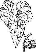 Tamus communis or Dioscorea communis vintage engraving