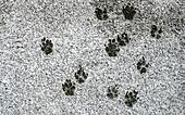Tracks of dog on snow