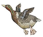 Goose or duck, Color Illustration