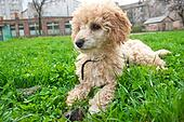 poodle laying on grass