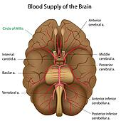 Blood supply of the brain, eps10