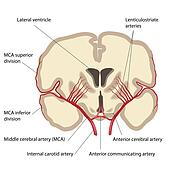 Middle cerebral artery, eps8