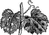 Powdery Mildew or Blumeria graminis, vintage engraving