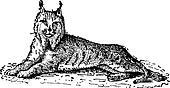 Lynx or Bobcat or Lynx lynx, vintage engraving