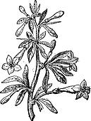 Wolfberry (Lycium europaeum) or goji berry flower and plant, vintage engraving.
