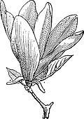 Magnolia or Magnolia sp., vintage engraving
