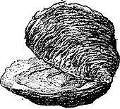 Oyster (bivalve mollusc), vintage engraving.