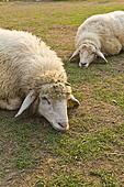 Two sheep in Livestock farm