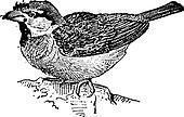 Sparrow or Passer sp., vintage engraving