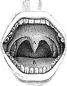 Fig. 182. Illustration of the inside of a human mouth, vintage engraving.