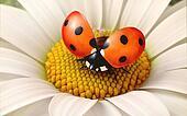 Daisy flower with a ladybird
