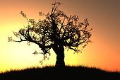 Old Tree in the Sunset
