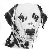 Dalmatian, illustration
