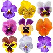 Set of nine pansies on white backgr